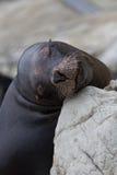 Leão-marinho sonhador Imagens de Stock Royalty Free