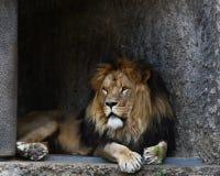 Leão masculino Fotografia de Stock
