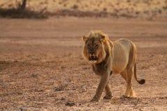Leão masculino 3 Imagem de Stock