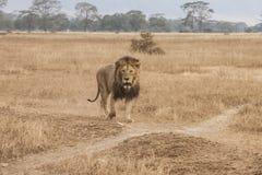 Leão masculino Fotos de Stock Royalty Free