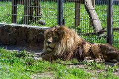 Leão masculino Imagens de Stock Royalty Free