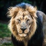 Leão masculino Imagens de Stock