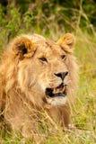 Leão masculino Imagem de Stock