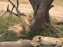 Leão masculino adormecido Fotografia de Stock