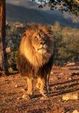 Leão masculino africano que levanta na primeira luz da manhã imagens de stock