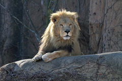Leão masculino alerta em uma vara Fotos de Stock