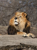 Leão masculino bonito Imagens de Stock Royalty Free