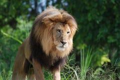 Leão masculino bonito com Mane Encompassing His Head grosso fotografia de stock