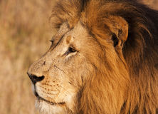 Leão masculino com Close-up das cicatrizes Imagens de Stock