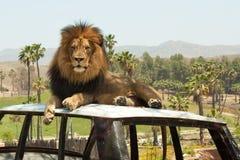 Leão masculino de Afircan Imagens de Stock Royalty Free