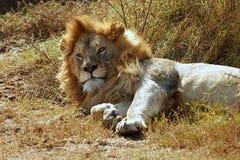 Leão masculino do sono Fotografia de Stock