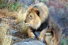 Leão masculino grande no savana de Namíbia Imagem de Stock