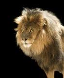 Leão masculino isolado Fotografia de Stock