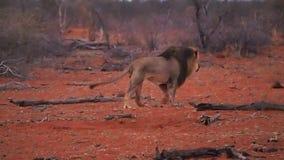 Leão masculino maned preto magnífico que tropeça acima filme