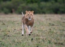 Leão masculino na carcaça imagens de stock