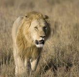 Leão masculino no Masai Mara Fotografia de Stock Royalty Free