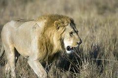 Leão masculino no Masai Mara Fotos de Stock Royalty Free