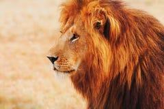 Leão masculino no Masai Mara imagem de stock