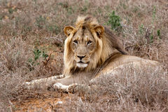 Leão masculino no parque do safari de Addo, África do Sul imagens de stock