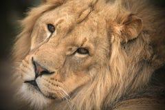 Leão masculino novo Fotografia de Stock Royalty Free