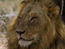 Leão masculino - parque nacional de Kruger Foto de Stock