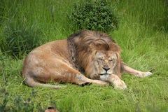 Leão masculino preguiçoso Imagens de Stock