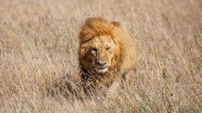 Leão masculino que anda na grama, Masai Mara imagens de stock