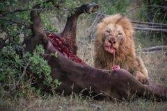 Leão masculino que come sua matança Fotografia de Stock Royalty Free