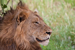 Leão masculino que encontra-se na máscara Fotografia de Stock