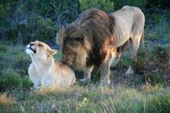 Leão masculino que está atrás e que lambe a fêmea que encontra-se na grama em África do Sul foto de stock royalty free