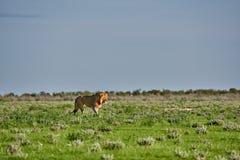 Leão masculino que patrulha com sua área Imagens de Stock