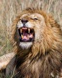 Leão masculino que rosna em Masai Mara NP imagem de stock royalty free