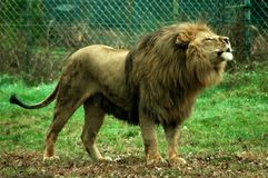 Leão masculino que ruje foto de stock