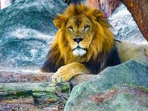Leão masculino que senta-se nas rochas que olham fixamente no horizonte imagens de stock royalty free