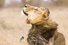 Leão masculino selvagem que agita-se, parque nacional de Kruger, África do Sul Imagens de Stock Royalty Free