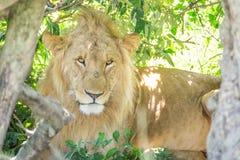 Leão masculino sonolento que descansa nos arbustos no parque nacional de Maasai Mara (Kenya) Imagem de Stock