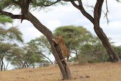 Leão na árvore Foto de Stock