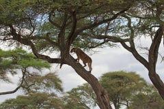 Leão na árvore Fotos de Stock