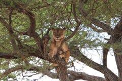 Leão na árvore Imagens de Stock Royalty Free