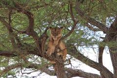 Leão na árvore Imagens de Stock