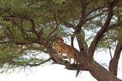 Leão na árvore, Tanzânia Fotos de Stock Royalty Free