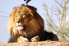Leão na areia morna. Fotos de Stock Royalty Free