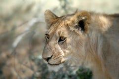 Leão na caça Fotografia de Stock