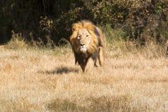 Leão na carga Fotografia de Stock Royalty Free