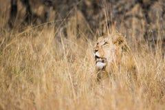 Leão na grama África do Sul Imagem de Stock Royalty Free