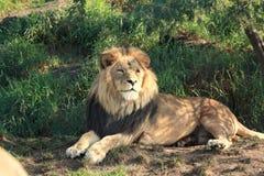 Leão na máscara imagens de stock royalty free