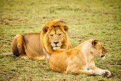 Leão na natureza Foto de Stock Royalty Free