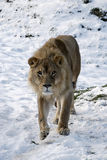 Leão na neve Imagens de Stock