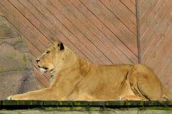 Leão na pose da esfinge Fotografia de Stock Royalty Free
