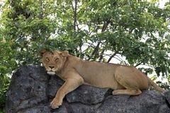 Leão na rocha em kopjes de Simba imagens de stock royalty free